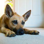 Jak vyčistit koberec od psích loužiček