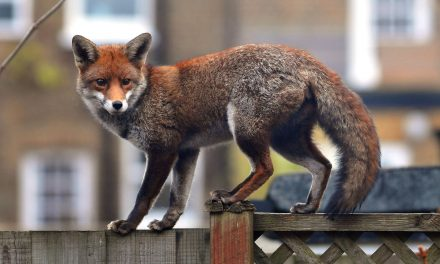 It Took 3 Years for Scotland Yard to Conclude Foxes Were Behind an Alleged Cat Killing Spree in London