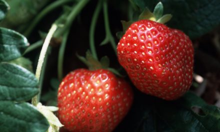 Australian Authorities Are Worried About a 'Copycat' After Needles Were Found Inside Strawberries in Six States