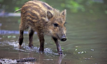 Denmark Is Building a Border Wall to Keep Boars Away Amid Swine Fever Fears