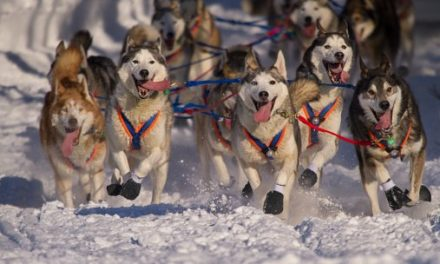 Woman's Charismatic Pack of Sled Dogs Deserve Their Own Reality Show
