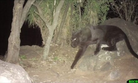 'No Animal More Elusive, No Animal More Beautiful.' Watch This Rare Footage of a Black Leopard in Kenya