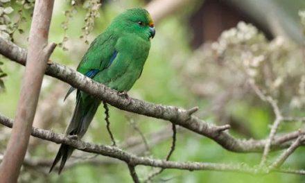A 'Beech Bonanza' Boosted the Population of This Critically Endangered New Zealand Bird