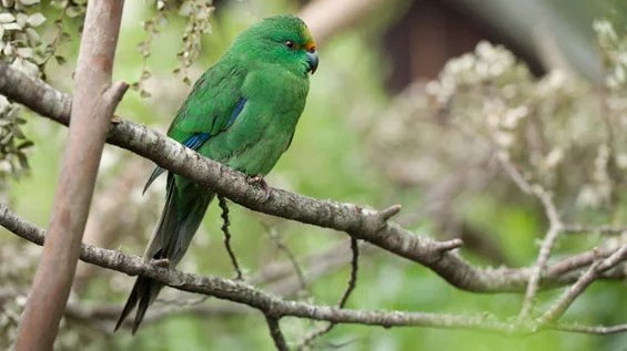 A 'Beech Bonanza' Boosted the Population of This Critically Endangered New Zealand Bird