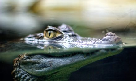 An Australian Farmer Found an Orthopedic Plate Inside a Crocodile's Stomach. Police Have Now Reportedly Opened a Missing Person's Investigation